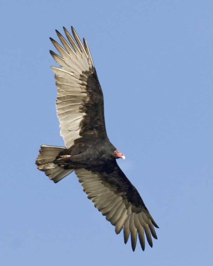 Turkey_Vulture_c22-39-281_l